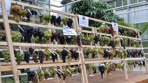 Дары виноградных лоз