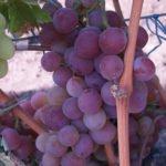 Виноград Шуня