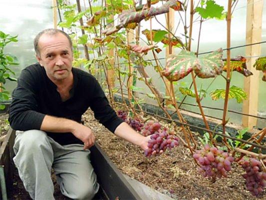 Ярославский виноградарь
