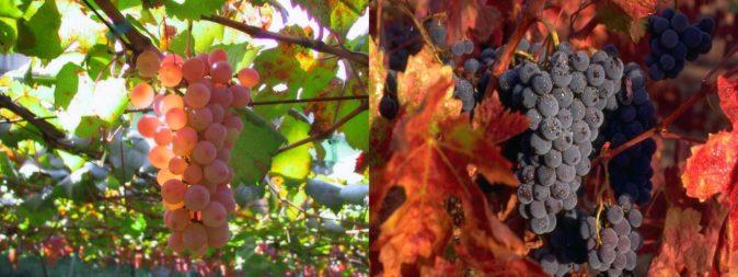 Раннеспелые сорта винограда