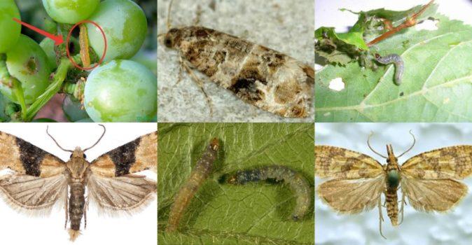 Листовёртки и гусеницы