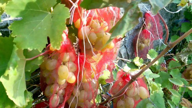 Виноград в защитных мешочках