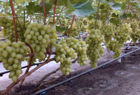 Кусты винограда Богатяновский
