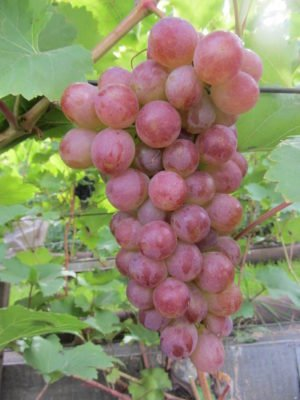 Виноград сорта Донские зори