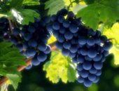 Сад красен оградой, а лоза виноградом
