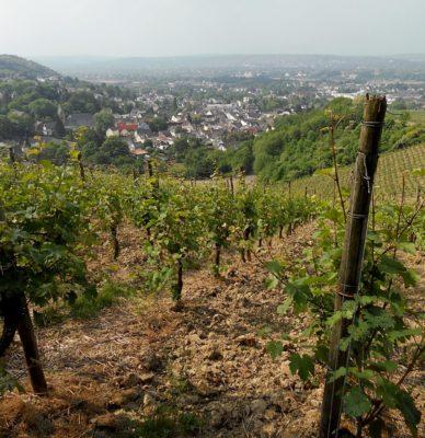 Виноградник на склоне