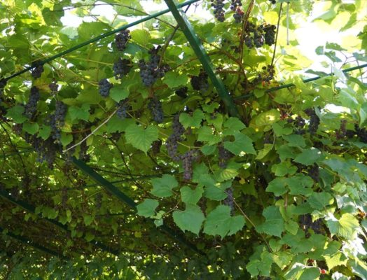 Виноград Альфа на беседке