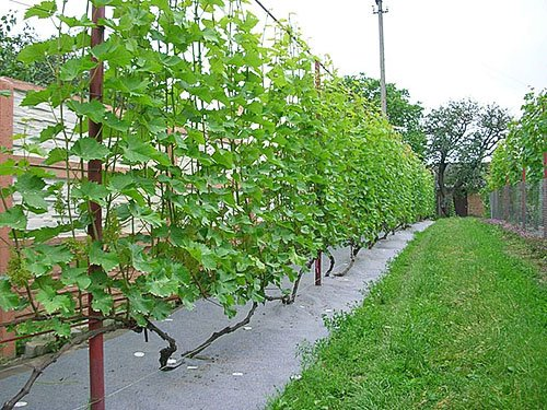 Аккуратный виноградник