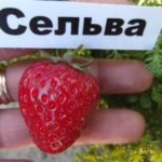 Сорт клубники Сельва