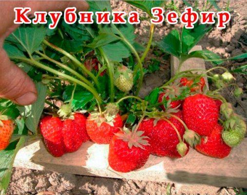 Сорт клубники Зефир
