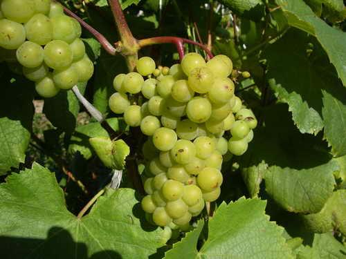Сорт винограда Маленгер ранний