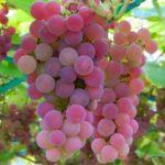 Сорт винограда Минский розовый