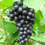 Сорт винограда Космос