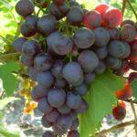 Сорт винограда Космонавт