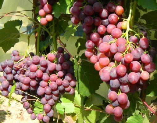 Сорт винограда Лепсна