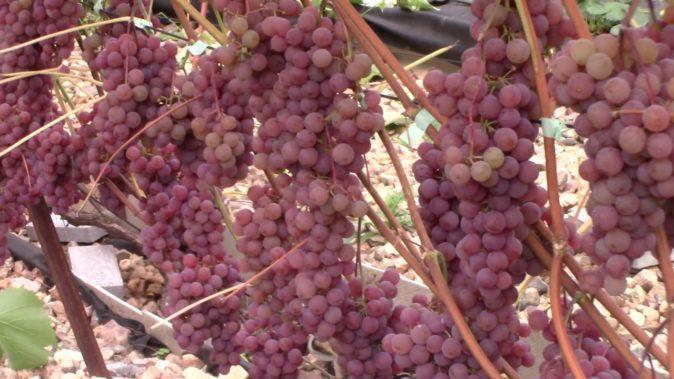 Сорт винограда Сомерсет сидлис