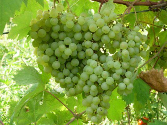 Сорт винограда Таёжный изумруд