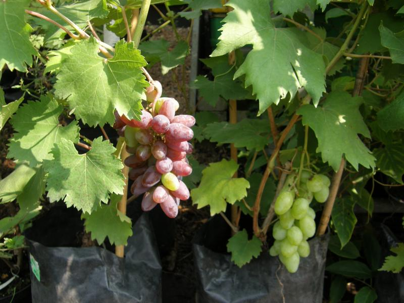 Виноград в Подмосковье - советы профессионала по уходу