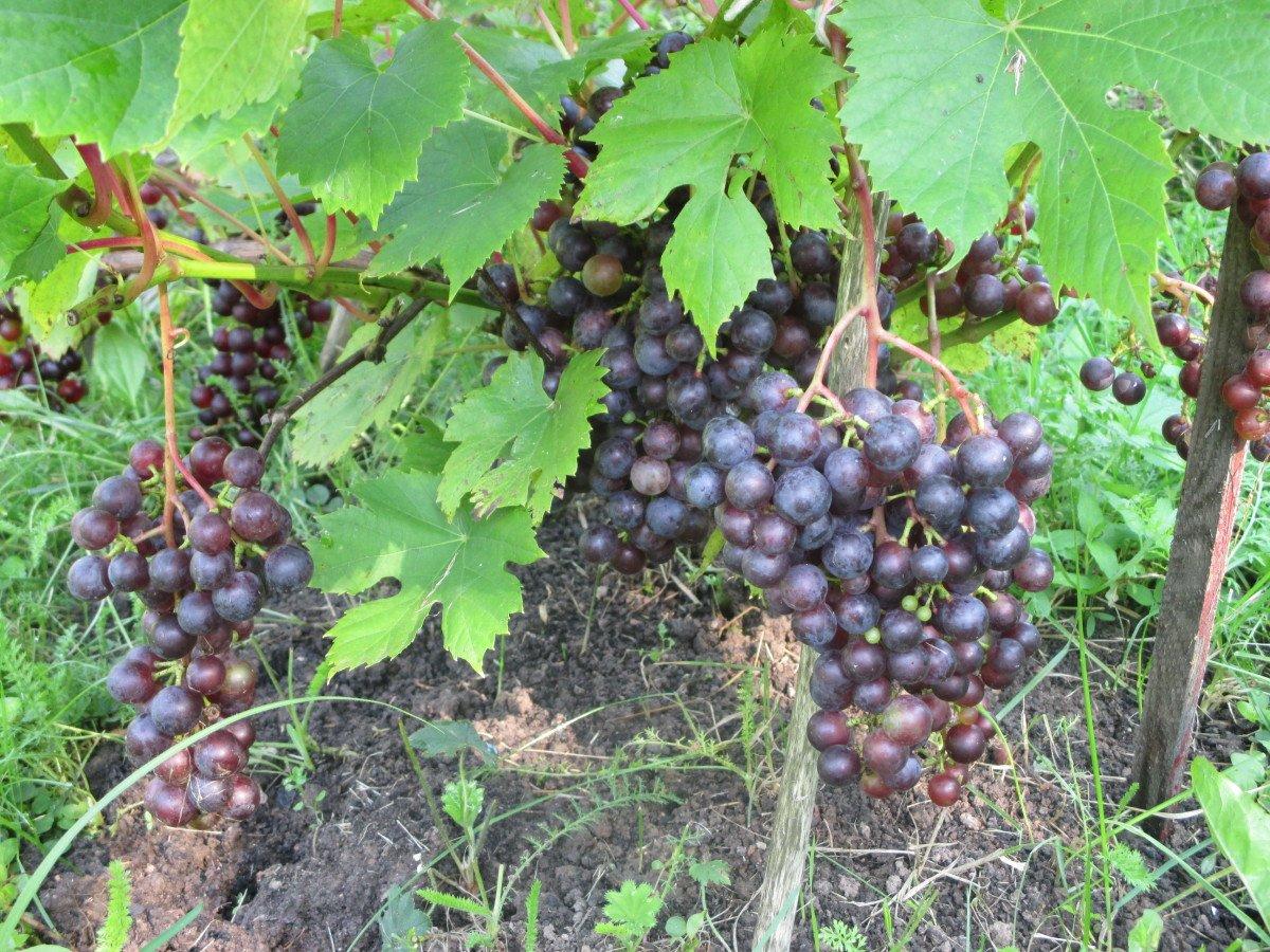 как осенью обрезать виноград в подмосковье