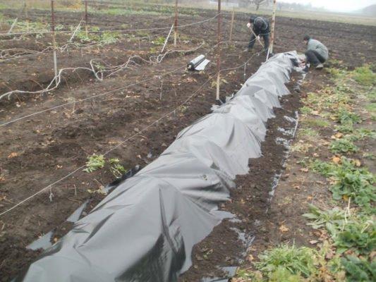 Виноград под плёнкой