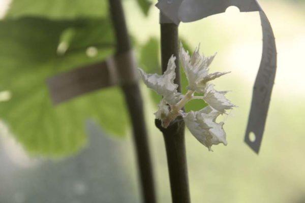 Этилированный побег винограда без хлорофилла