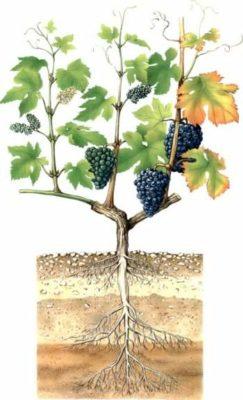 Корневая система винограда