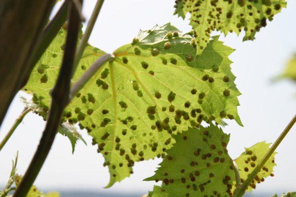 Филлоксера на листьях винограда