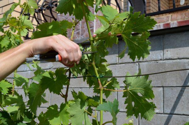 Побег винограда