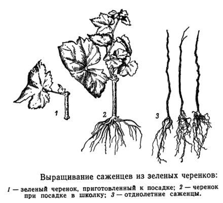 Выращивание из зелёных черенков