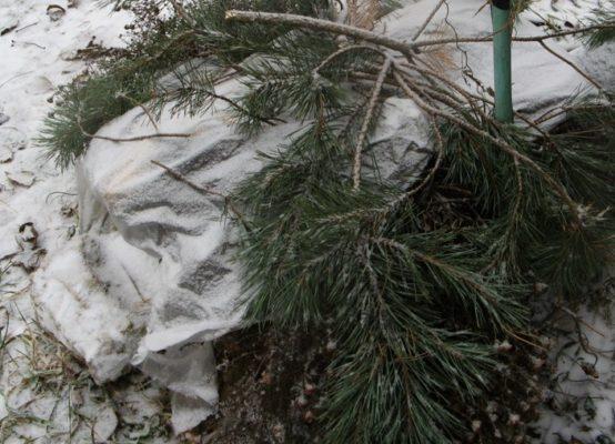 Укрытие лапником на зиму