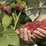 Урожай малины в ладонях