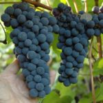 Виноград Амурский прорыв