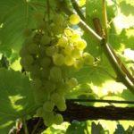 Виноград Мускат венгерский