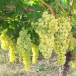 Виноград Шасла белая