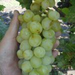 Виноград Шасла мускатная