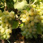 Виноград Карабурну