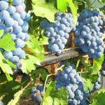Виноград Одесский чёрный