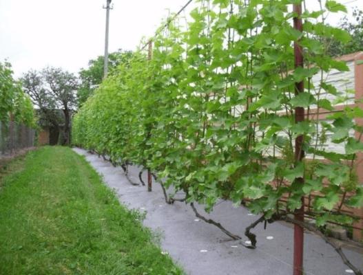 Расположение виноградных кустов вдоль ограждения участка