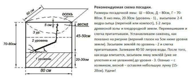 Схема посадки саженца с открытой корневой системой (ОКС)