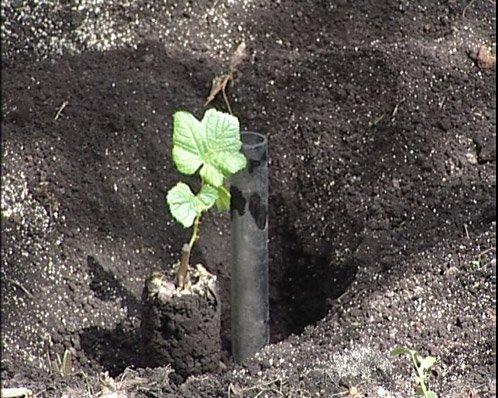 Установка дренажной трубы для полива и подкормки винограда