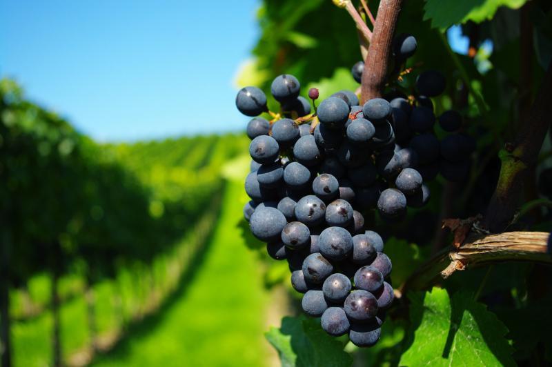 Как и чем правильно подкармливать виноград весной, летом, осенью