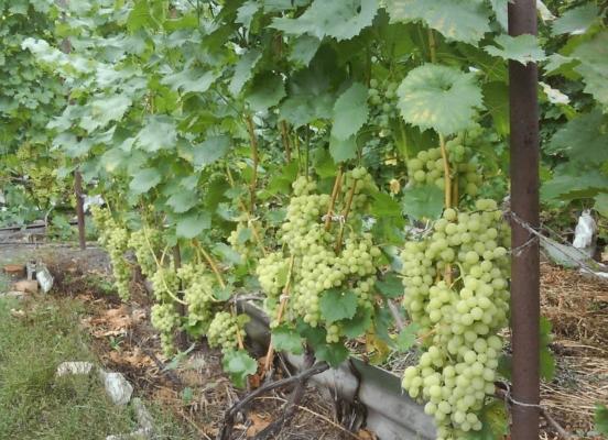 Виноградная лоза на опоре