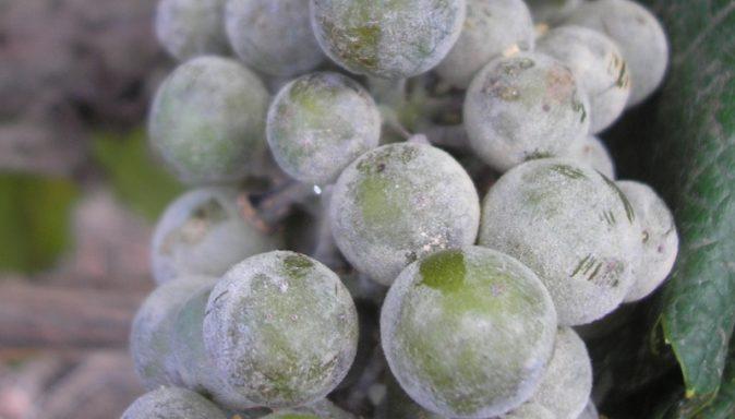Виноград, поражённый мучнистой росой