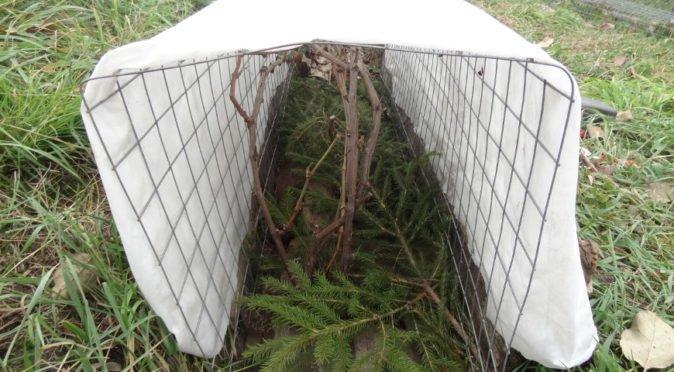 Укрытие винограда плёнкой и ветками
