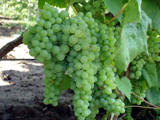 Куст винограда Дружба