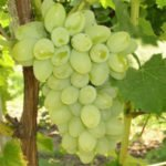Виноград сорта Мускат белый