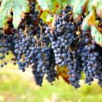 Виноград сорта Одесский чёрный