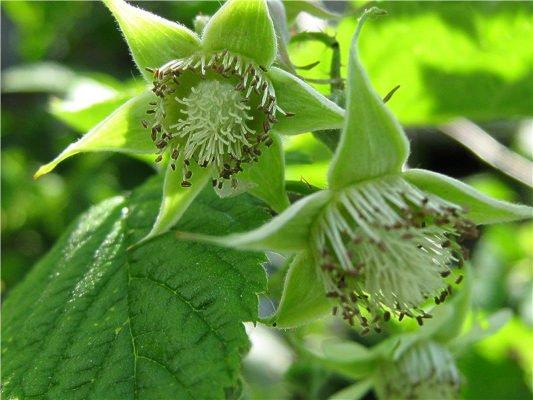 Цветки малины