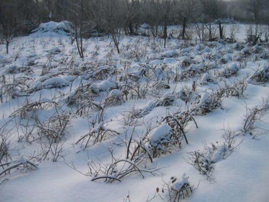 Зимовка малины под снегом