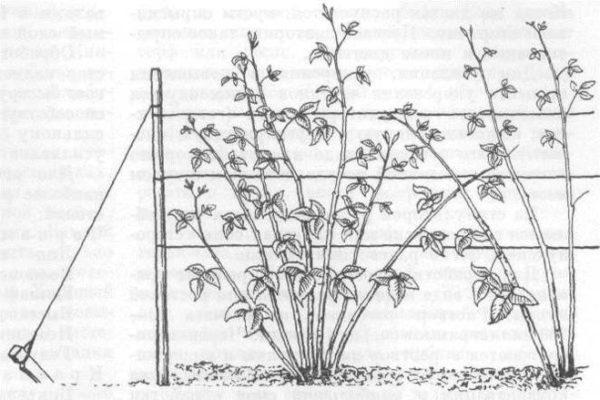 Подвязка малины к шпалере